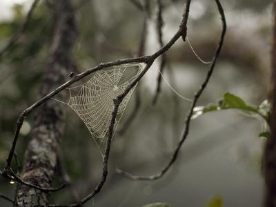A Dew Covered Spider Web Between Two Tree Branches
