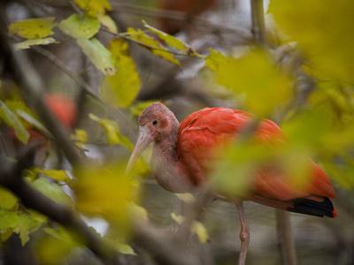 Scarlet Ibises, Eudocimus Ruber, at the San Antonio Zoo