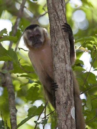 Tufted Capuchin Monkey, Cebus Apella, in a Tree