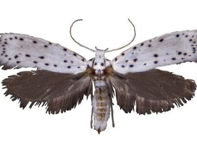An Adult Apple Ermine Moth