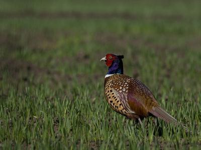 Portrait of a Male Pheasant, Phasianus Colchicus