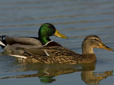 Male and Female Mallard Ducks, Anas Platyrhynchos, Swimming