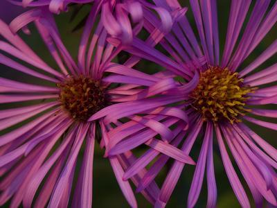 Close Up on Aster Flowers, Aster Species