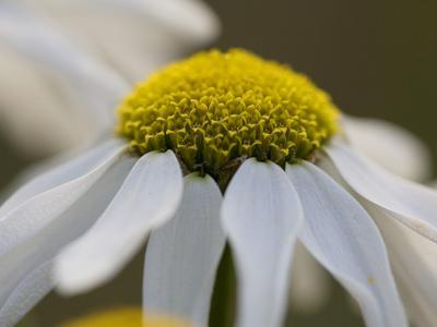 Close Up on the Flower of a Daisy, Leucanthemum Species