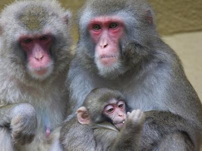Portrait of a Japanese Macaque, Macaca Fuscata, Family