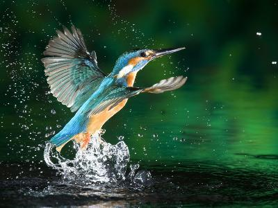 Adult Male Common Kingfisher, Alcedo Atthis, Emerging Without a Fish