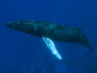 A Humpback Whale, Megaptera Novaeangliae, Arrives for Mating
