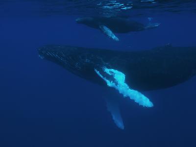 Humpback Whale, Megaptera Novaeangliae, Cow and Calf Bonding