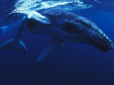 A Young Humpback Whale, Megaptera Novaeangliae