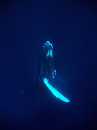 A Humpback Whale, Megaptera Novaeangliae, Surfaces after a Long Dive
