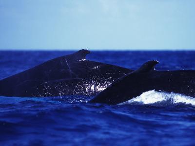 A Humpback Whale, Megaptera Novaeangliae
