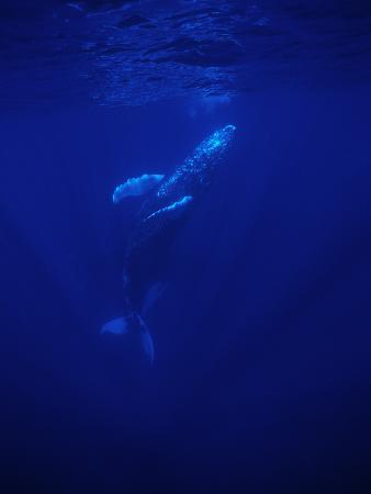 Humpback Whale, Megaptera Novaeangliae Lays Motionless under Surface