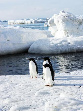 Adelie Penguins, Pygoscelis Adeliae, on Ice Amid Icebergs