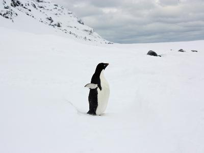 Adelie Penguin and Resting Weddell Seals in Fresh Snow
