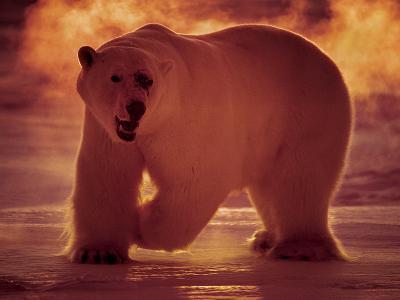 A Polar Bear Hunts in -40 Celsius Temperatures at 3 A.M