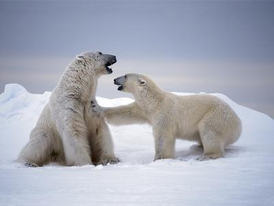 A Female Polar Bear Rejecting the Advances of a Massive Male
