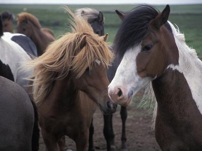 Icelandic Horses Near Saudarkrokur on the North End of Iceland