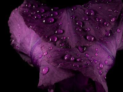 Water Drops on a Purple Flower in a Redwood Forest Habitat