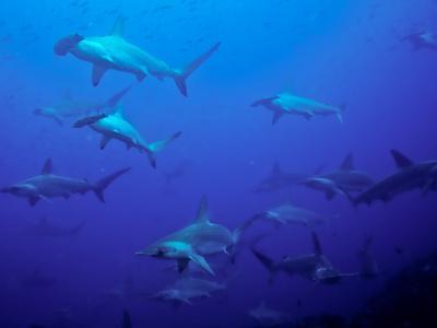 Hammerhead Shark Schooling Off a Seamount