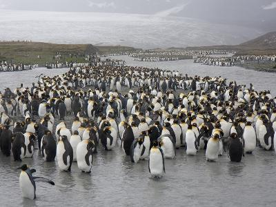 King Penguins on the Banks and Islands in a River of Snow Melt
