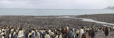 Over 200,000 King Penguins South Georgia Island's Largest Rookery