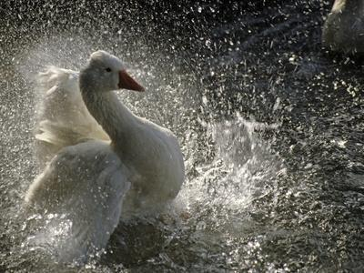 A Duck Splashes in the Water of Lake Banyoles