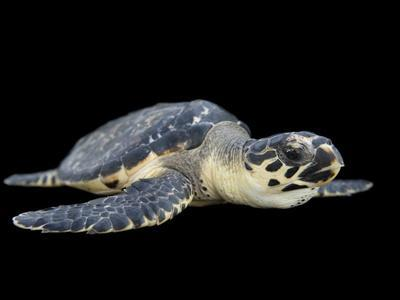 Portrait of a Hawksbill Turtle, Eremochelys Imbricata