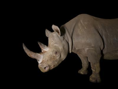 A Female Eastern Black Rhino, Diceros Bicornis Michaeli, Named Imara