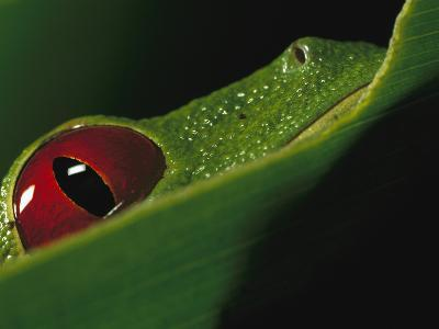 Red-Eyed Tree Frog (Agalychnis Callidryas) Close-Up of Eye, Soberania National Park, Panama