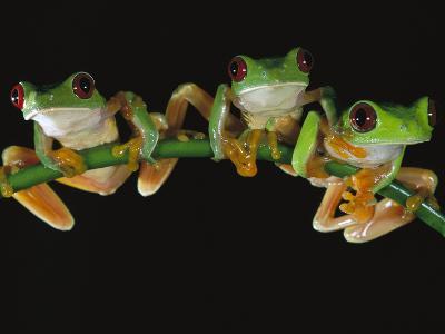 Red-Eyed Tree Frog (Agalychnis Callidryas) Sitting on a Stem, Soberania National Park, Panama