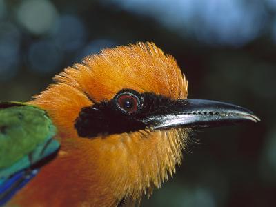 Broad-Billed Motmot (Electron Plathyrhynchum Minor) Portrait, Barro Colorado Island, Panama