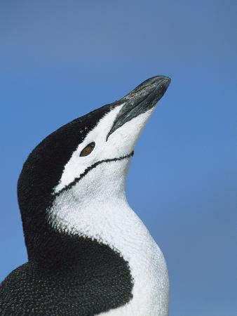 Chinstrap Penguin (Pygoscelis Antarctica) Adult Calling, Hydrurga Rocks, Antarctica Peninsula