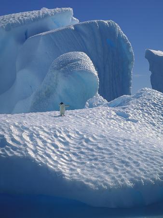 Adelie Penguin (Pygoscelis Adeliae) on Iceberg, Hope Bay, Antarctic Peninsula