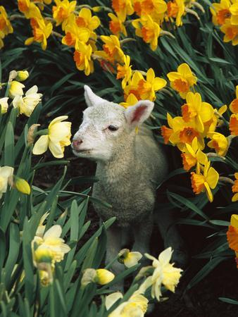 Domestic Sheep (Ovis Aries) Lamb Among Spring Daffodils (Narcissus Sp) Canterbury, New Zealand