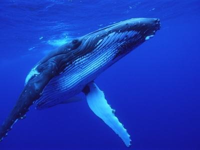 Humpback Whale (Megaptera Novaeangliae) Swimming, Underwater, Tonga
