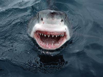 Great White Shark (Carcharodon Carcharias) Close-Up, South Australia