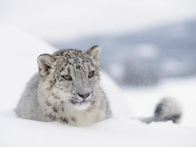 Snow Leopard (Uncia Uncia) Adult Portrait in Snow, Endangered