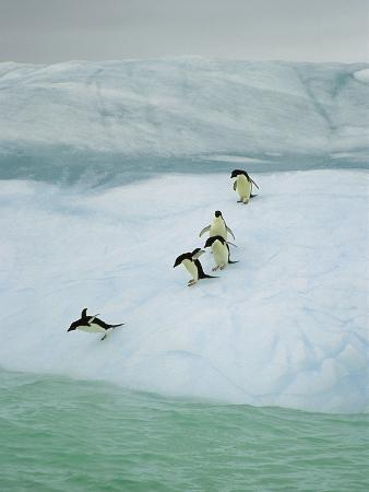 Adelie Penguin (Pygoscelis Adeliae) Group Diving into Sea, Dumont D'Urville, East Antarctica