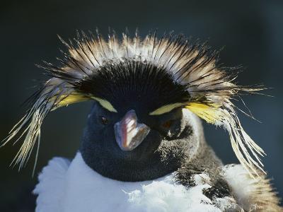 Rockhopper Penguin (Eudyptes Crestatus) Moulting, Sealion Island, Falkland Islands