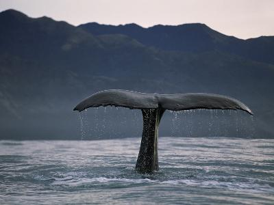 Sperm Whale (Physeter Macrocephalus) Diving, New Zealand