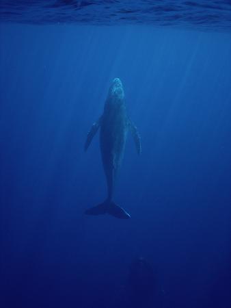 Humpback Whale (Megaptera Novaeangliae) Swimming to the Surface, Hawaii