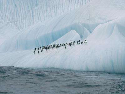 Chinstrap Penguin (Pygoscelis Antarctica) Group on Iceberg, Palmer Peninsula, Antarctica