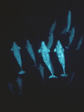 Beluga (Delphinapterus Leucas) Whale, Group Underwater, Baffin Island, Nunavut, Canada