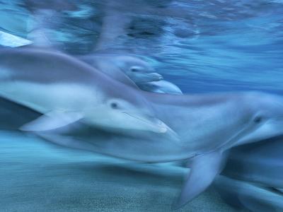 Bottlenose Dolphin (Tursiops Truncatus) Group in Motion, Hawaii