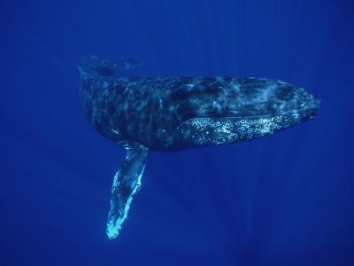 Humpback Whale (Megaptera Novaeangliae) Maui, Hawaii (Photo Obtained under NMFS Permit)