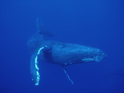 Humpback Whale (Megaptera Novaeangliae), Maui, Hawaii (Photo Obtained under NMFS Permit)