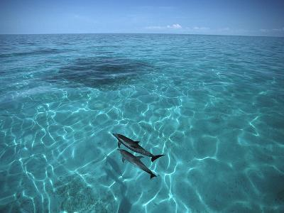 Atlantic Spotted Dolphin (Stenella Frontalis) in Clear Water, Little Bahama Bank, Caribbean