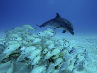 Atlantic Spotted Dolphin (Stenella Frontalis) Chasing School of Snappers, Bahamas, Caribbean