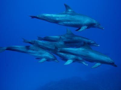 Bottlenose Dolphin (Tursiops Truncatus) Pod Swimming Underwater, Ogasawara Island, Japan