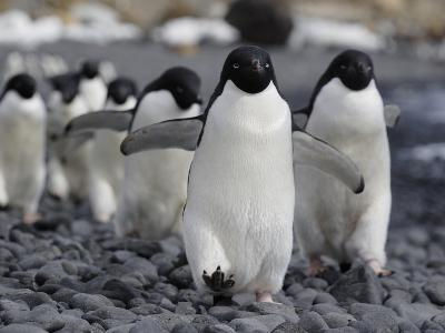 Adelie Penguin (Pygoscelis Adeliae) Group Marching to Colony, Antarctic Peninsula, Antarctica